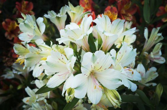 京都フォト通信: 百合水仙 Kyōto Botanical Garden, Sakyō-ku, Kyōto Fujifilm Finepix X100 京都府立植物園(京都市左京区下鴨半木町)
