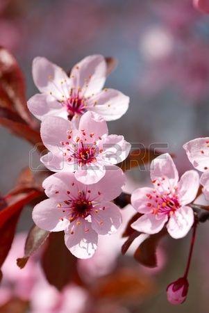 Rosa flor de cerezo en flor lleno Foto de archivo