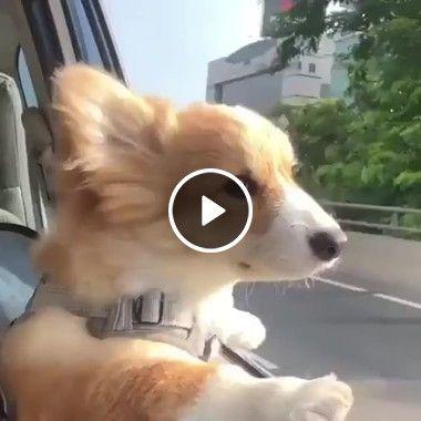 Cachorro na janela do carro igual gente grande