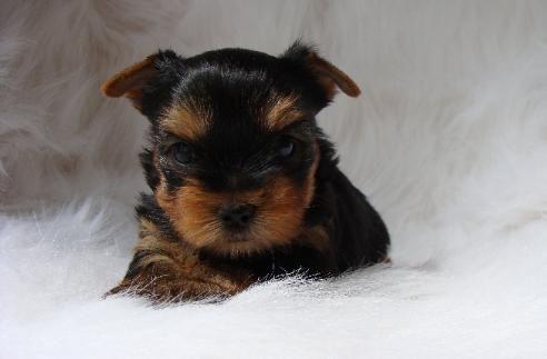 Winter Yorkie Puppy Puppies Yorkie Puppy For Sale