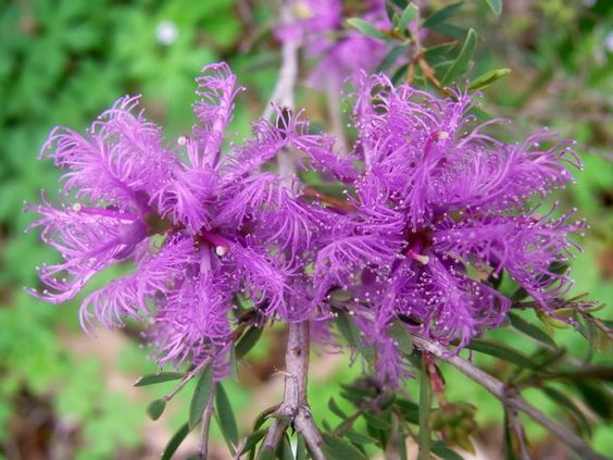 Australian Native Plants: Ultimate Outdoor Plants Buyers Guide & List