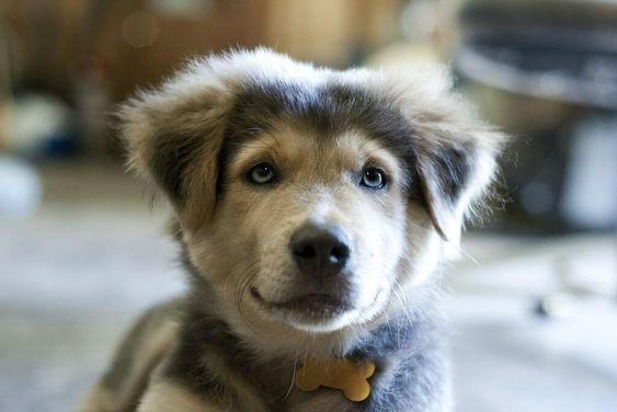 19 Breathtaking Husky Golden Retriever Mixes Goberian