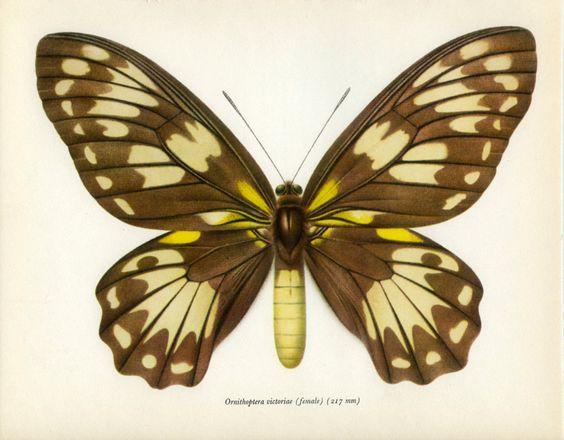 Vintage Butterfly Print, Queen Victoria's Birdwing Female (49) Prochazka, 1964, Lepidoptera