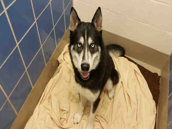 www.PetHarbor.com pet:ASTN.A723355 This DOG - ID#A723355  I am a black and white, unaltered male, who looks like a Siberian Husky mix.  I am estimated to be 1 year old.  I have been at the shelter since Mar 30, 2016.  Austin Animal Center