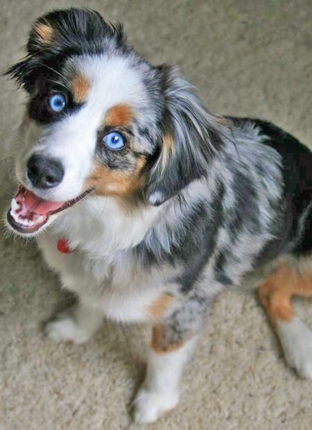 Mini australian shepherd dog pinterest blue merle und augen