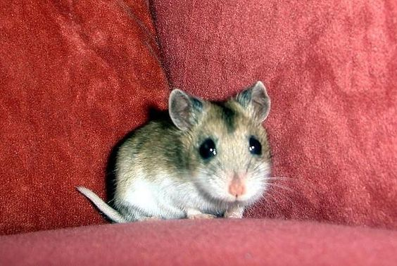 hamsters chinse dwarf - Google Search