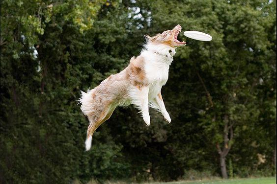 Red Merle Australian Shepherd Frisbee Dog