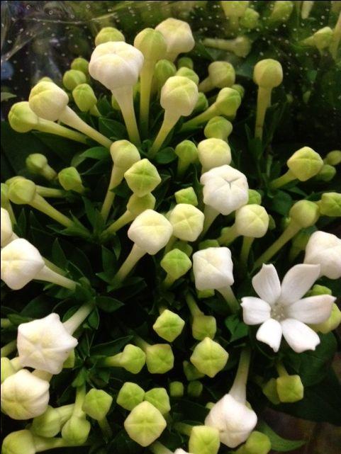 Bouvardia White Wholesale Flowers Flowers Flower Meanings