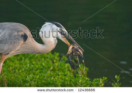 stock photo : great blue heron catching grackle chick for breakfast in wetland pond (very graphic)