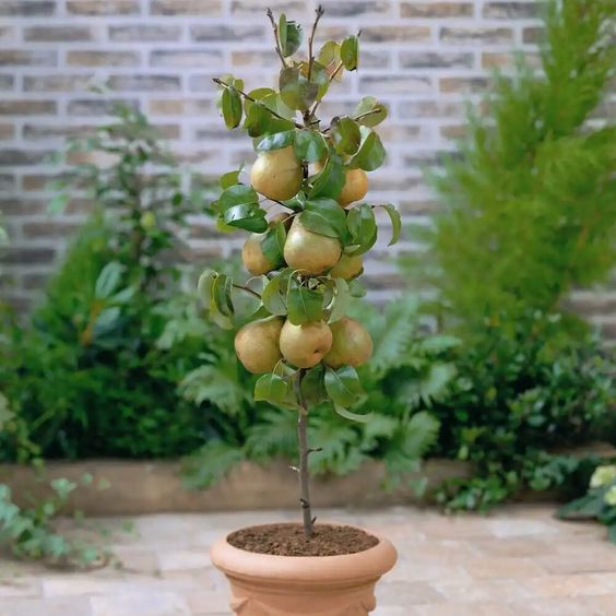 Plantas frutales para macetas: Manzana