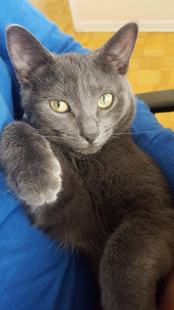Thank You Reddit For Helping Me Determine Fillie S Breed Here S Another Russian Blue Russian Blue Cat Blue Cats