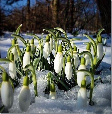 Snowdrops Like An Angel In The Snow Spring Blooming Flowers Spring Flowers Primroses