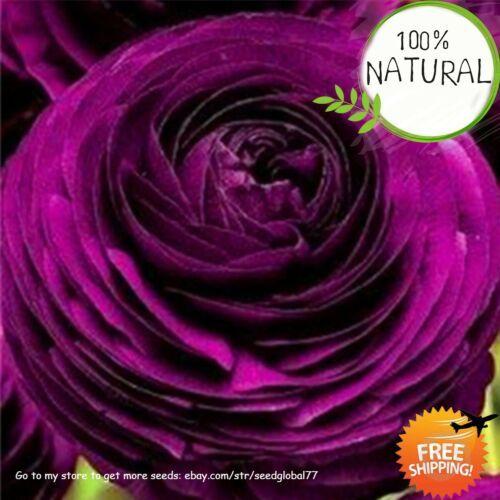 50pcs Ranunculus Buttercup Flower Seeds Mixed Perennial Plant Garden Decoration