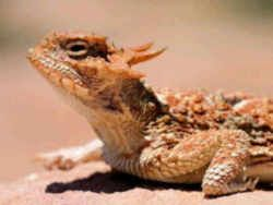 Texas State Reptile - Texas Horned Lizard