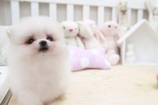 Pomeranian Puppy For Sale In San Jose Ca Adn 57492 On