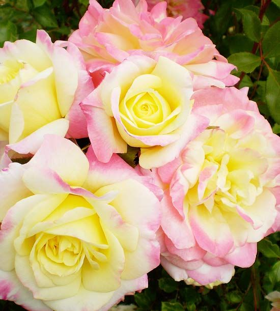 These new Music Box Shrub Roses produce colorful blooms all summer. See more new roses for 2012: http://www.bhg.com/gardening/flowers/roses/beautiful-new-roses/?socsrc=bhgpin051512=1