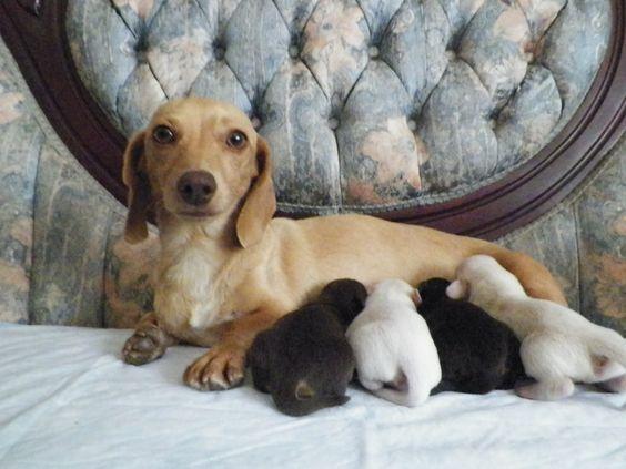 Dachshund Puppies PA | Dachshund Breeder - Cook's Wieners