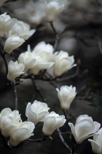 magnolia: