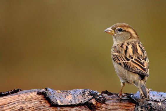 after the rain (female sparrow) by wise photographie on 500px