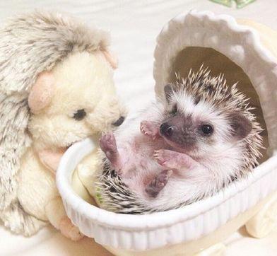 Hedgehog and he looks like a hedgehog with dolls:
