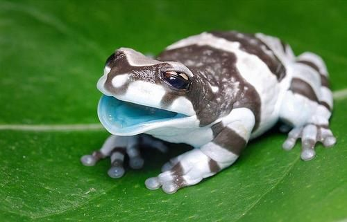 Amazon Milk Frog.    Photo by D. Kucharscy