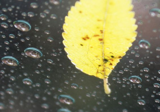 close up of a yellow elm leaf and raindrops