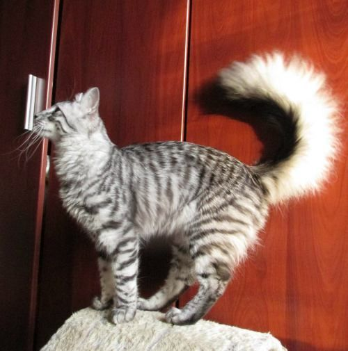 Black Silver Mackerel Tabby Turkish Angora Cat Angora Cats Turkish Van Cats