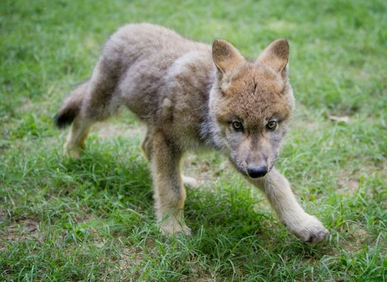 "An orphaned Gray wolf pup found wandering along the side of a road in central Idaho now has a new home at Busch Gardens. Nicknamed ""Boise"" by the park's zoological team, the pup is slowly being introduced to his new pack mates."