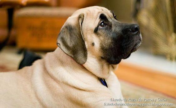Listado de Razas de Perros y Gatos. Todos los tipos...: Raza de Perro Mastiff o Mastin Ingles (English Mas...