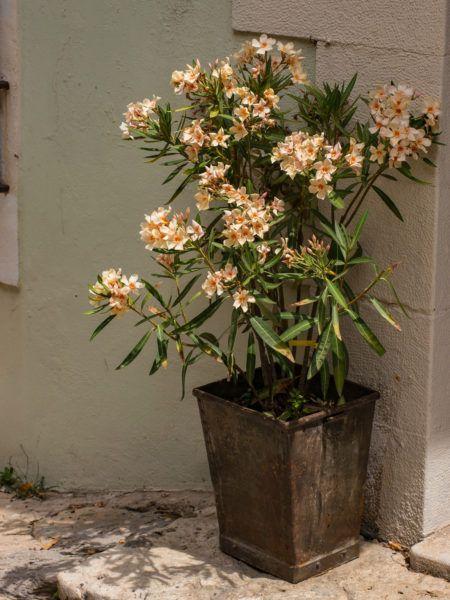 Nur südlich der Alpen ist der Oleander wirklich winterhart
