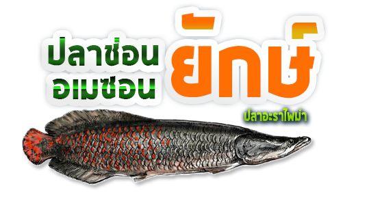 ปลาช อนย กษ อเมซอน อะราไพม า Arapaima ฟาร มก