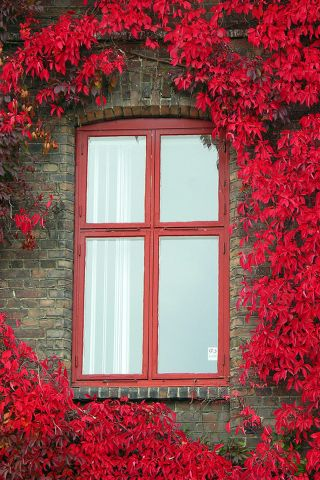 Beautiful climbing red vines on brick building with red window