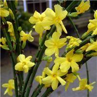Winter Jasmine Plants, Climbing winter jasmine for sale online, UK grown Groves Garden Centre, Bridport £8.50
