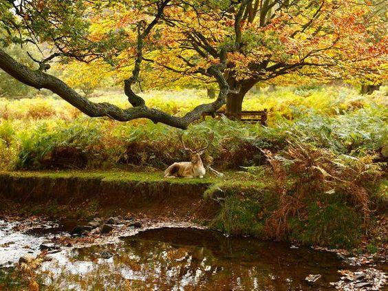 Un cerf, dans le parc de Bradgate, dans le centre de l'Angleterre.