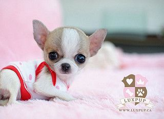 Teacup chihuahua1   by LuxPup