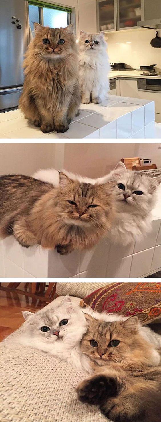 ふわっふわ(もさもさ)な猫たちの画像