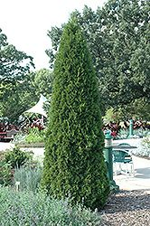 Click to view full-size photo of Emerald Green Arborvitae (Thuja occidentalis 'Smaragd') at Stein's Garden & Home