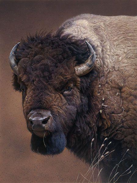"""El bisonte americano (Bison bison) Antiguamente la carne del bisonte era muy apreciada y constituía el alimento fundamental de los pieles rojas. También los blancos solían utilizarla, mezclándola con grasa, para elaborar un alimento llamado """"pemmican"""", que se consumía mucho en las expediciones polares."""