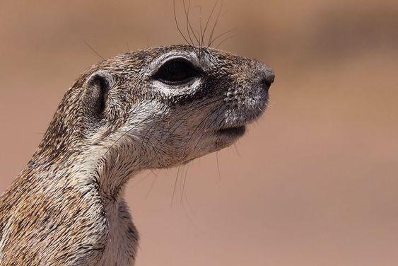 Ecureuil de terre du cap (Xerus inauris). Namibie.