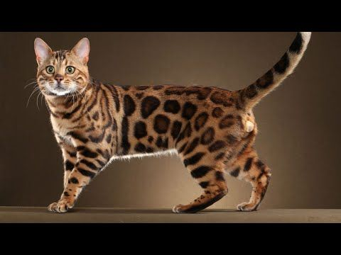 Apr 2019 Bengal Cat Rare Silver Kittens For Sale In India 2 5