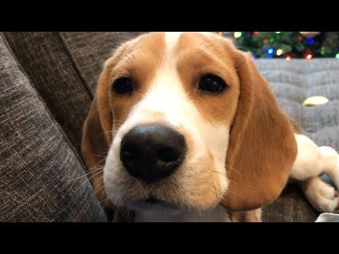Seven Cutest Sounds A Beagle Makes Youtube Funny Animal Memes