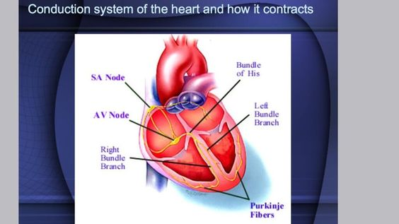 Conduction system heart