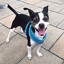 Nrw York Ny Oliver Is A Boston Terrier For Adoption In New York Ny Who Needs A Loving Home Boston Terrier Dog Adoption Pet Adoption