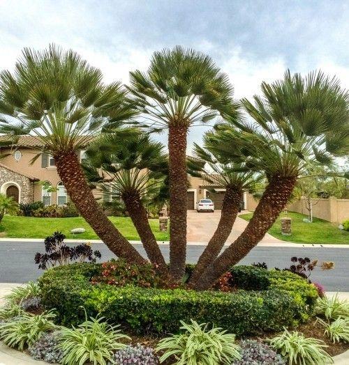 5 Winterharte Palmen Fur Nachhaltiges Gartengrun Fresh Ideen Fur Das Interieur Dekoration Und Landschaft Winterharte Palmen Palmen Garten Garten Pflanzen