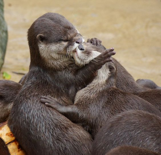 Kissing Otters(by Alan Cohen)