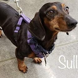 Available Pets At Dachshund Rescue Of Los Angeles In Los Angeles California Dachshund Rescue Dog Pounds Dachshund