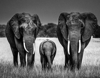 Black and white photographies about african wildlife and endangered species.  Laurent Baheux  http://www.behance.net/laurentbaheux
