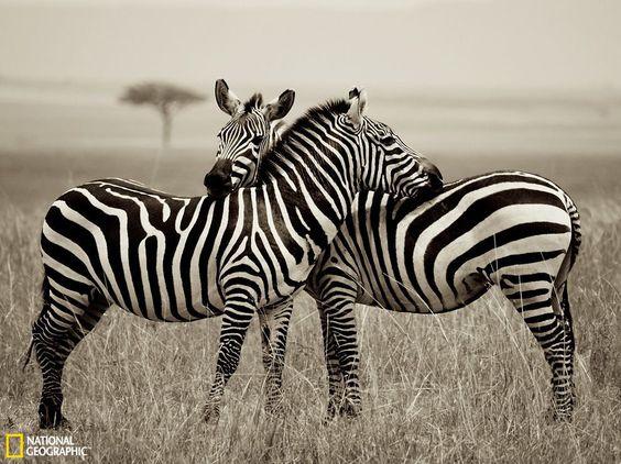 肯尼亚斑马耳鬓厮磨