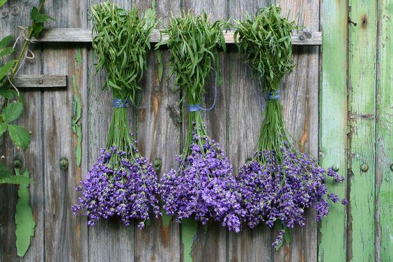 ΛΕΒΑΝΤΑ | Γιάννης Λουκάκος: Lavender Bunch, Lavender Drying, Drying Lavender, Essential Oils, Facial Scrubs