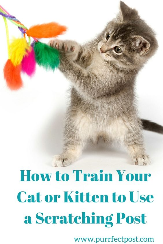 Here are a few tips for introducing your cat to her new scratching post and training her to use it.